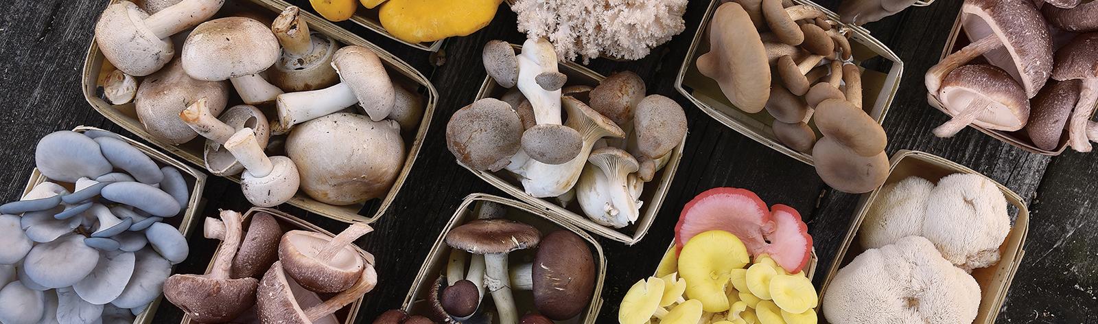 راه اندازی بزرگترین واحد تولید قارچ های دارویی و خوارکی خاورمیانه